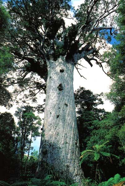 Agathis Australis Kauri Description