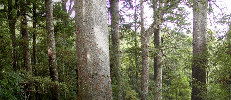 Kauri Agathis australis 120 cm Pentola 7 litri Altezza totale 100