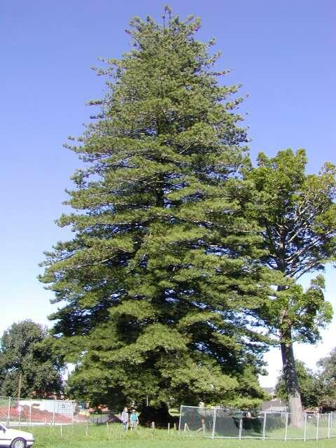 Araucaria Heterophylla Norfolk Island Pine Description