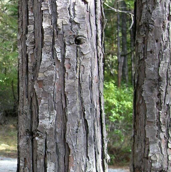 Small Ornamental Trees Oregon: Chamaecyparis Lawsoniana (Port Orford Cedar) Description