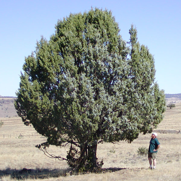 Juniperus Occidentalis Western Juniper Description
