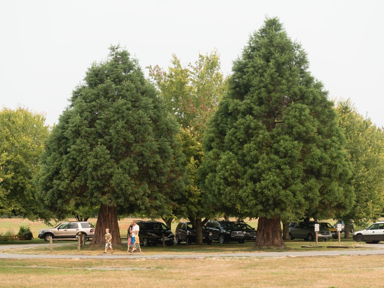 http://www.conifers.org/cu/se/26.jpg