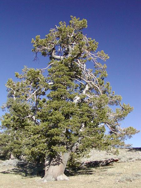 Pinus Flexilis Limber Pine Description The Gymnosperm