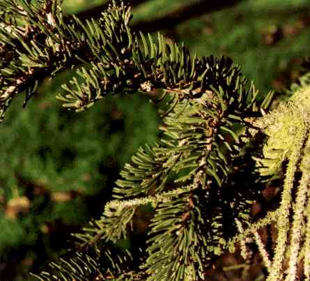 a description of a slender evergreen tree with a smooth grey trunk Balsam fir is a small to medium-size evergreen tree typically 14-20 metres (46-66 ft) tall, rarely to 27 metres (89 ft) tall, with a narrow conic crown the bark on young trees is smooth, grey, and with resin blisters (which tend to spray when ruptured), becoming rough and fissured or scaly on old trees.