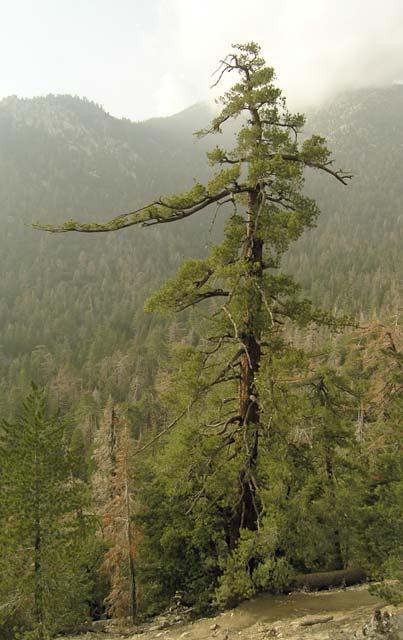 Pinus lambertiana sugar pine description the for Mature pine trees