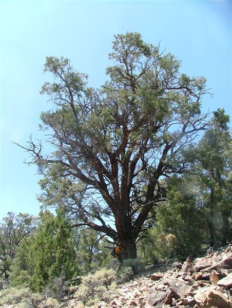 Pinus Monophylla Singleleaf Pinon Description The Gymnosperm Database