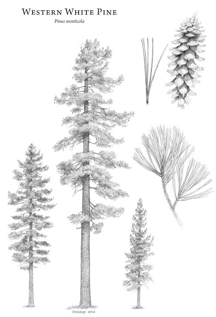 Pinus Monticola Western White Pine Description The Gymnosperm