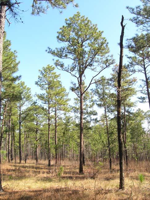 Pinus palustris longleaf pine discover life for Mature pine trees