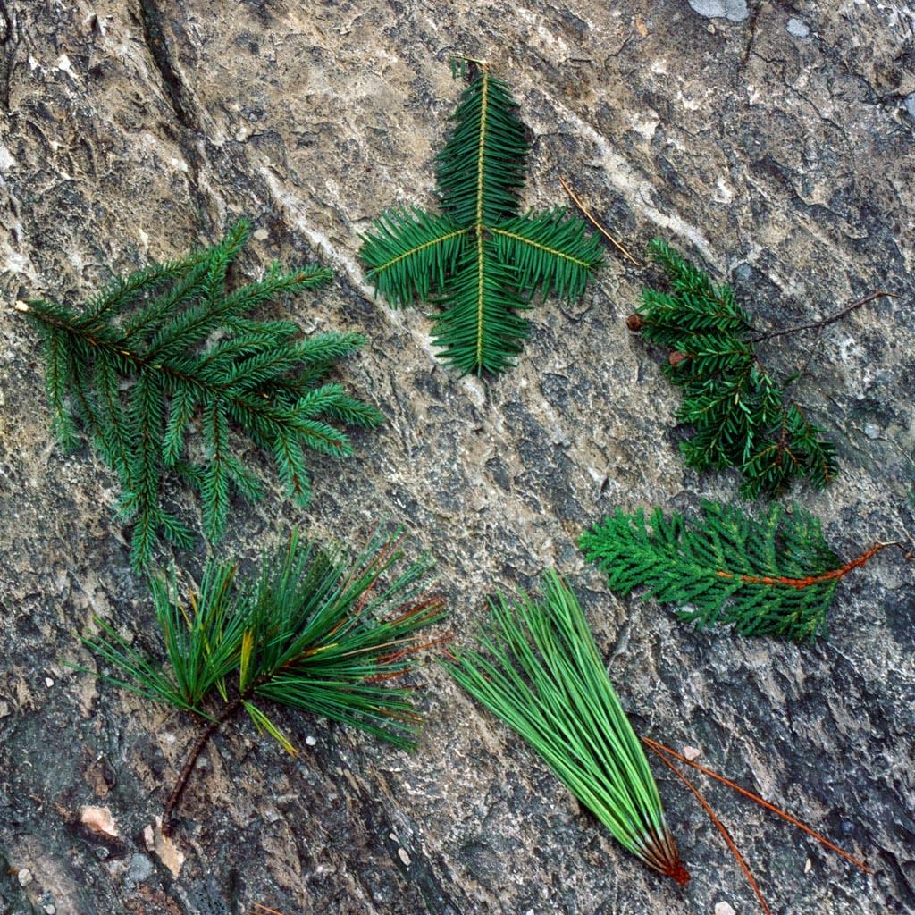 pinus strobus eastern white pine description