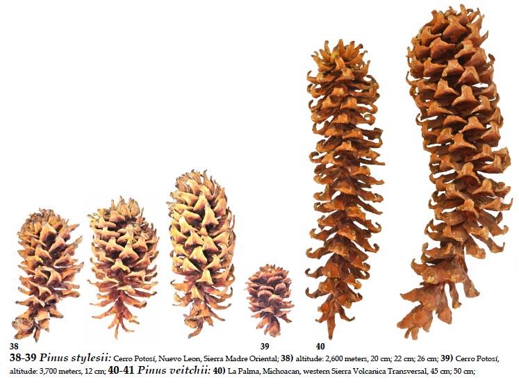 Pinus Ayacahuite Download