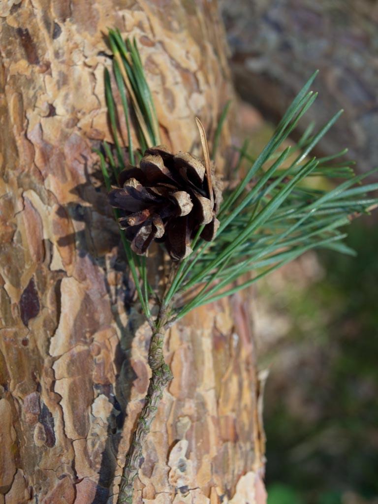 Pinus sylvestris (Scots pine) description