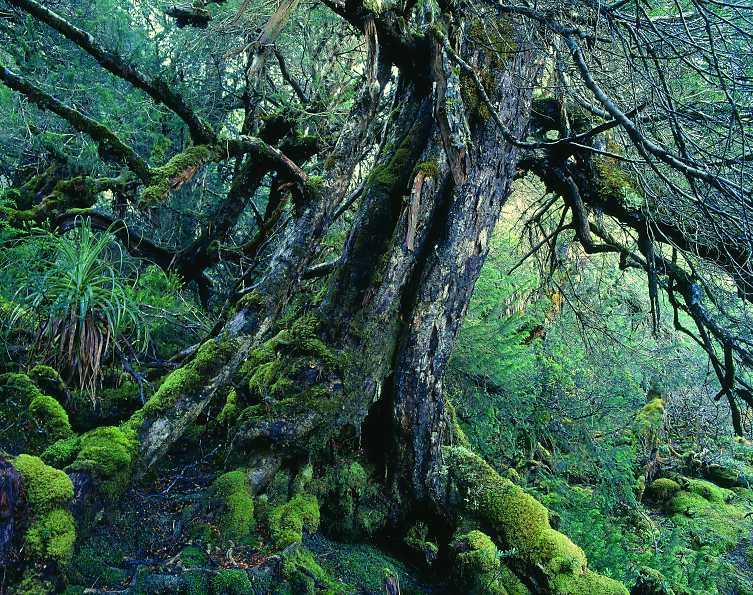 Lagarostrobos Franklinii Huon Pine Description